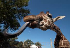 Giraffe with long tongue on enjoylifecoza