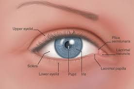 Third Eyelid also know as the Haw